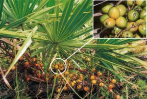 saw-palmetto-berries